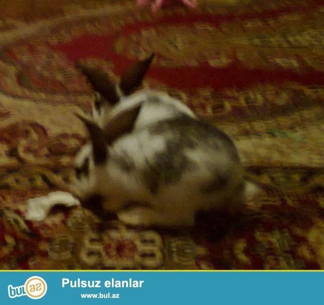 2 ədəd ev dovşanı satılır. erkək və dişi. 2-si biryerdə 15 azn...