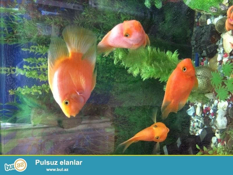 4 ədəd tutuquşu balığı var. Qırmızı rəngdədir...