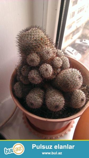 Kaktuslar Aliram.... kaktus cixartmaq və şitil 2...