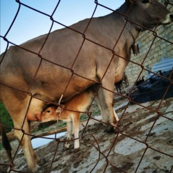 Samaxida inek ve yaninda balasi satilir. Sağilir ve sud