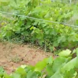 Üzüm sahələri satılır 100 hektarın 47 hektarında Ağ və Qara