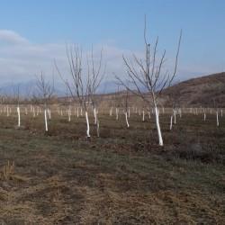 Armud və Alma bağları satılır İsmayıllı rayonu 32 hektar 5