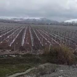 32 hektar İsmayılli-Goyçay Ərazisindəə 22 hektar : Üzüm
