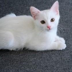 8 aylıq türk anqoru satılır. Adı Muskadır cinsi dişidir.