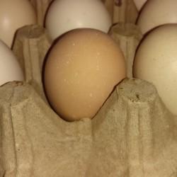 Mayali yumurtalardir.heyetimde boyuyen toyuqlarin