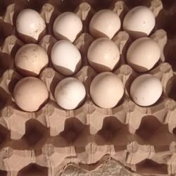 brama yumurtaları satılır : 1,50 qəpik mayalı