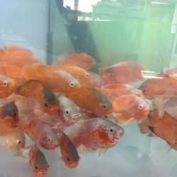 Akvarium ( İstənilən ölçüdə hazılanması.) Balıqlar ( Rubin,