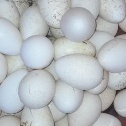 Mayalı hinduşka yumurtası satılır Təzə yumurtadır. 1