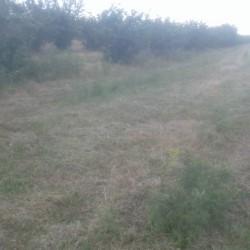 Xacmaz rayonu 113 sot Findiq Bagi(350 agac) satilir.