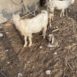 SALAM, yerli və sani sort keçilər satılır. 150azn-dən