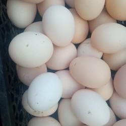 Serebrist (gümüşü) toyuqların mayalı yumurtası. 035 Azn
