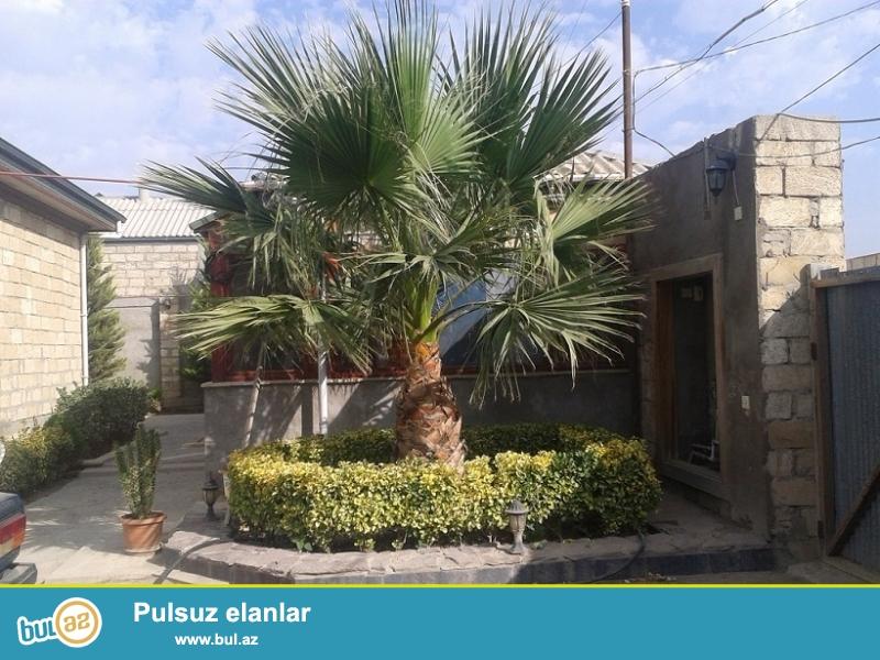 Palma satılır. 6-7 ilin palmasıdır. Çox hündürdür...