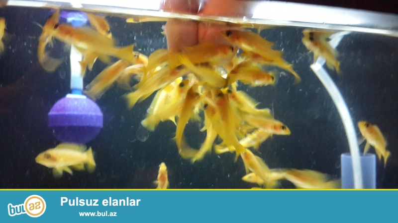 Neolamproloqus lelupi 3-4sm tanqanika gölunun balığı yerli artım səkillər öz səklidi.