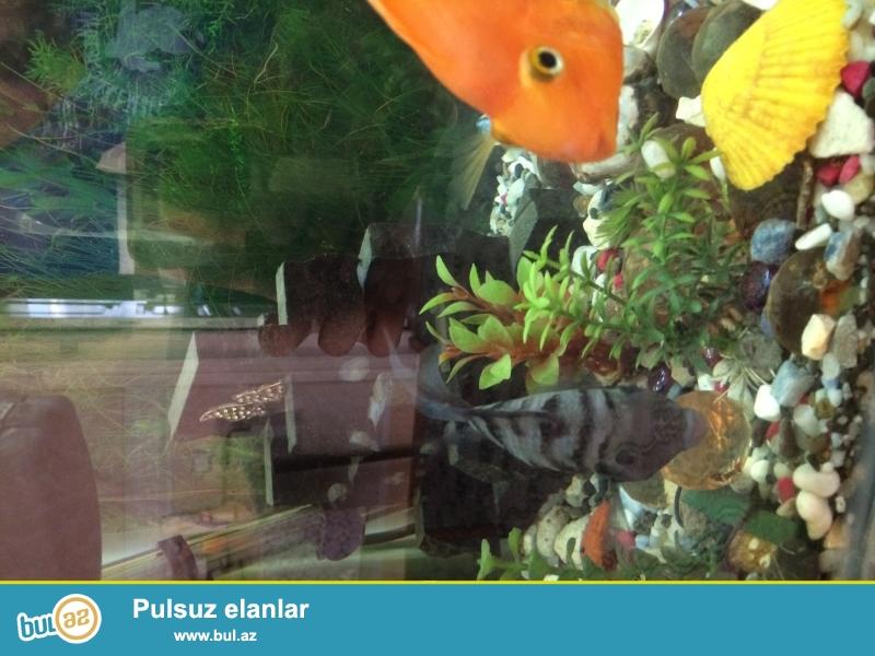 4 ədəd tutuquşu balığı var. Qırmızı rəngdədir 1 yaşları var 1-i 25 AZN-ə satılır