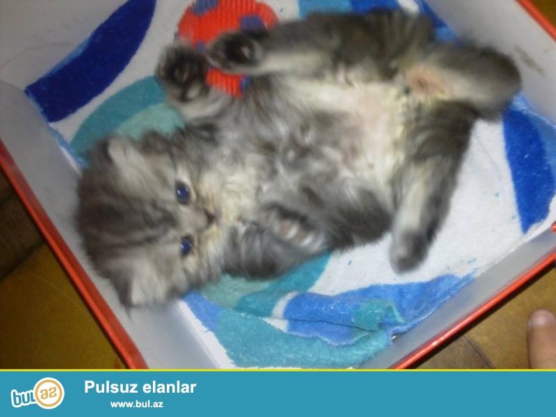 Продаю персидского котенка...