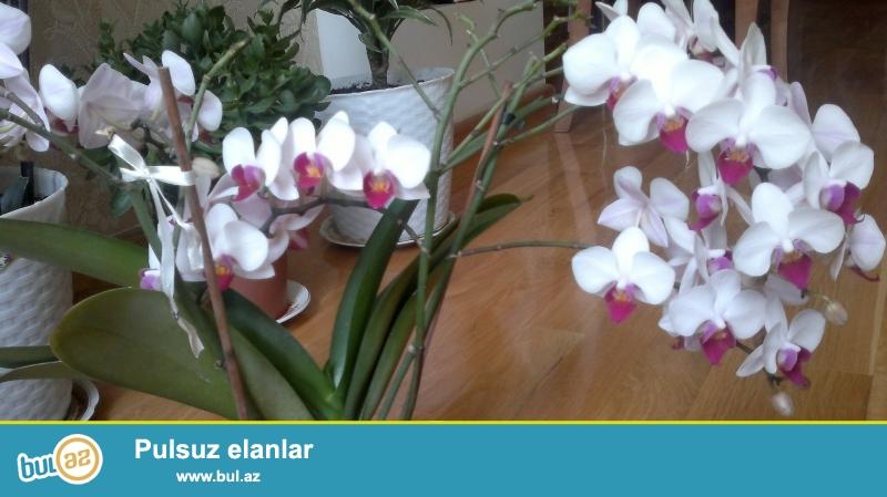 Arxideya falenopsis satiram 2,3,4 budaqli                           <br /> <br /> Продаю Архидея фаленопсис ствола 2,3,4