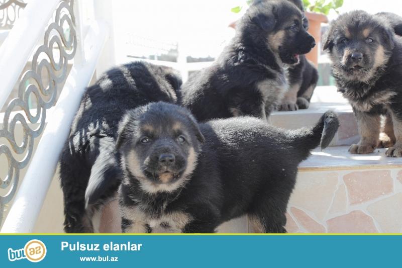3 oğlan və 3 qız. Atası - Alman ovçarkası, Anası - Avropa ovçarkası, ikisidə təmiz cinsdən...