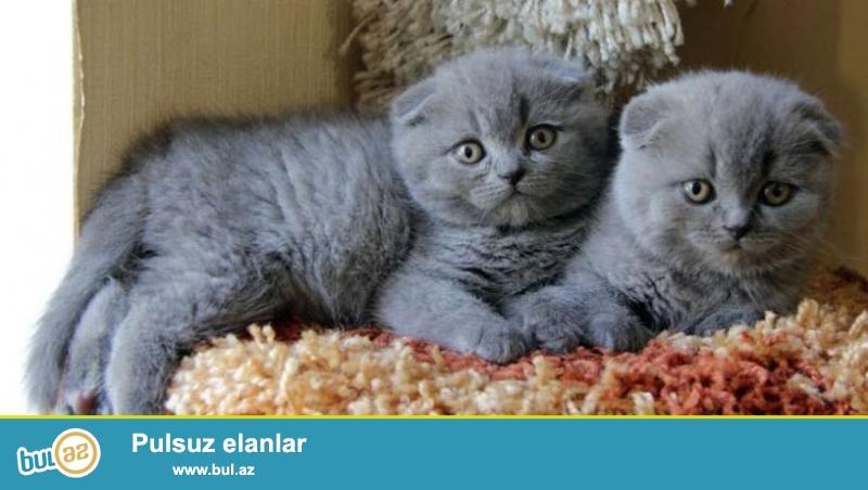 Продаются 2х месячные котики,обработаны от блох и глистов,ходят на лоток.
