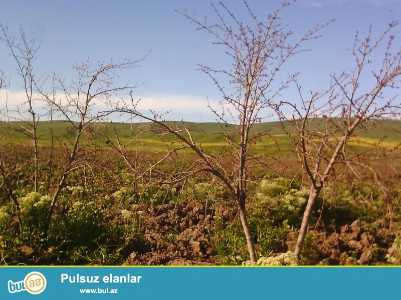 Qobustan rayon Tesi kendinde(Baki-Şamaxı şossesinin 103-cü kilometrliyi) 3 hektar 14 sot erazisi olan, 4 illik tam mehsuldar 3500 ağacı olan nar bağı satılır...