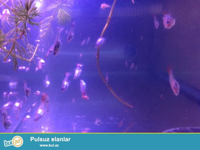 1-2 ayliq balalridi..akvarium filter su qizdiran iwiq da ustunde verirem...