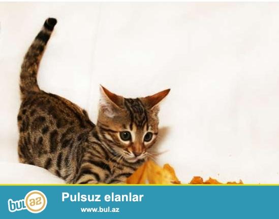 Biz kittens tam (Feline Leykemiya daxil olmaqla) peyvənd, eləcə də səhiyyə yoxlanılır ki, təmin etmişdir