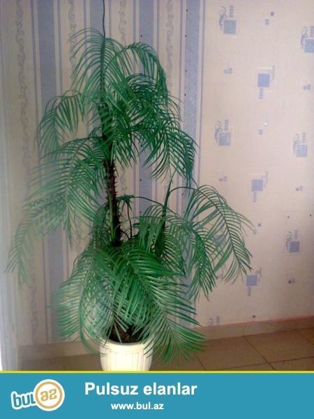 Suni palma agaci,qedimi guldan,qabi dasdi.palma ofisdedi,seliqeli saxlanilib,ev bag ofis ucun gozel menzeresi var...