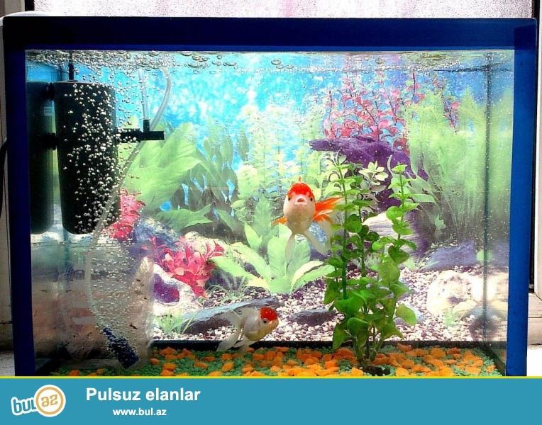 Продаю аквариум с двумя рыбками (оранда), фильтр-компресором, компресором, фоновым рисунком, грунтом и искусственным растением...