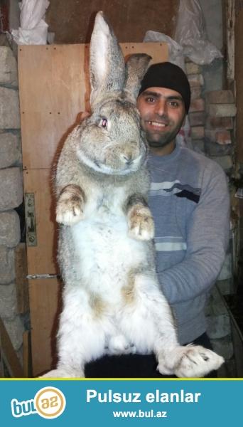 Velikan dovşanlar sortu rizen-filandr temiz alman sortudu 7-12kq olurlar 8-14 bala verirler başı çixan geLib baxa biler