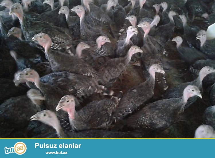 1 SUTKALIQ VƏ 1 AYLIQ HİND QUŞU SATIRAM (HİNDUŞKA) ...