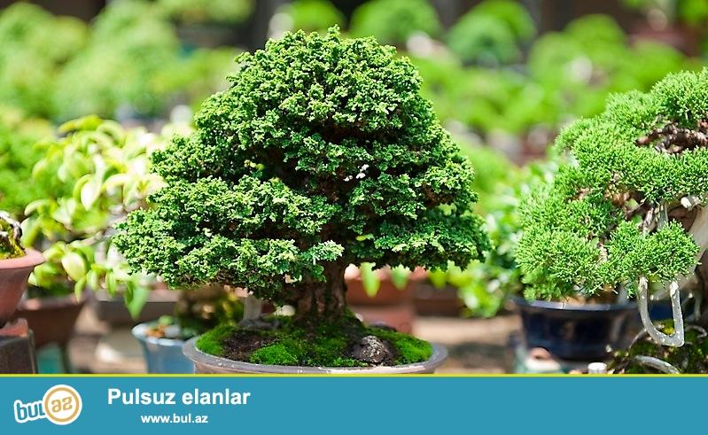 Bonzay Baku online satış mərkəzinin yaradılmasında məqsəd bonzay bitkilərini Azərbaycanda tanıtmaq və inkişaf eletdirməkdi...