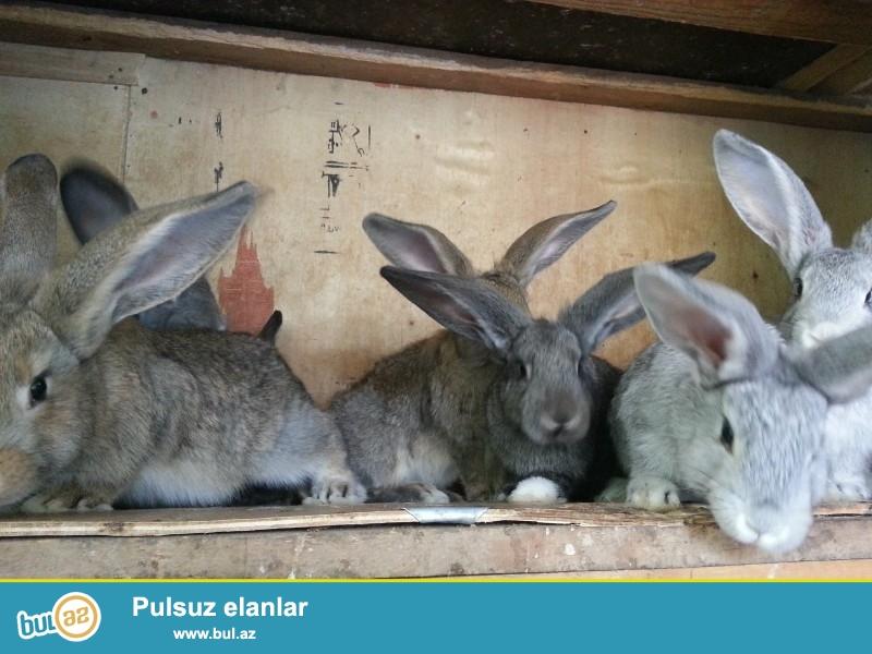 Ağ və boz velikan cinsi dovşanlar. Heç bir problemləri yoxdur, sağlam dovşanlardı...