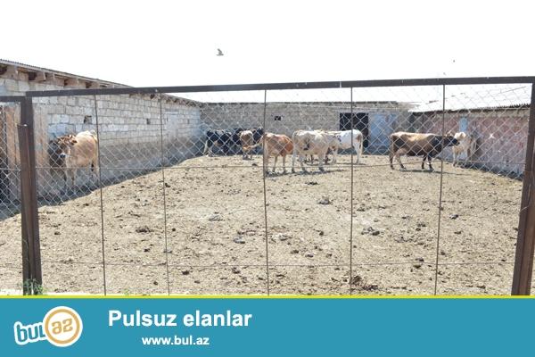 Sabirabad rayon Nizami kendi erazisinde ferma satilir . Ferma Baki Bəhramtepe magistralindan 5 km məsafədə yerləsir...