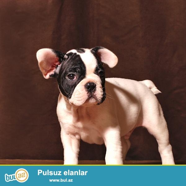 Предлагаются щенки французского бульдога-разные окрасы,мальчики и девочки, привиты по возрасту, имеют документы...