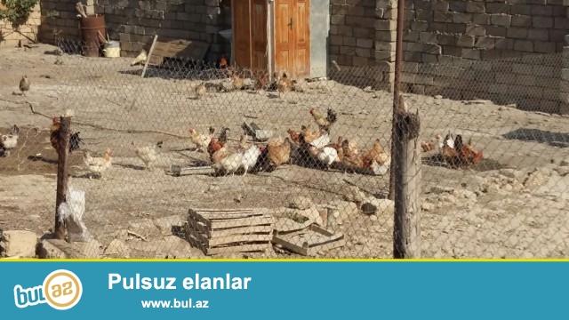 Üç qardaşlar MMC kəndli fermer təsərrüfatı öz kənd toyuqlarının satışını təşkil edir...