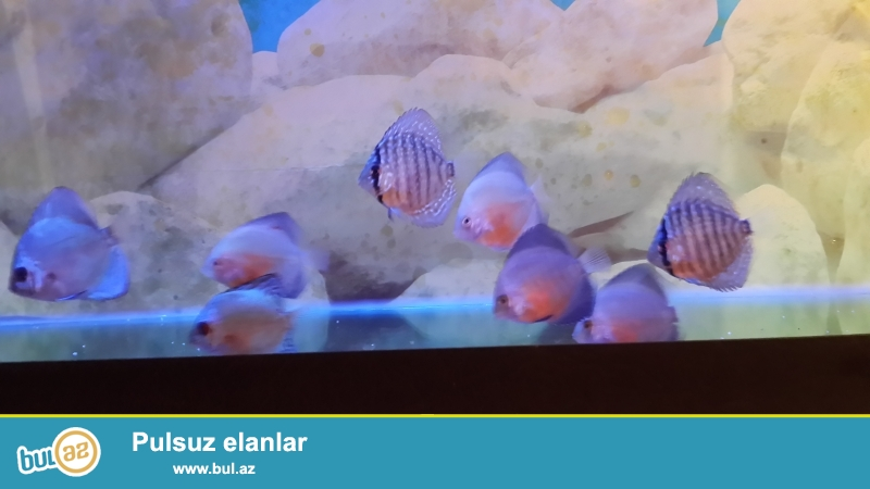 Diskus red white, diskus blue diamond,diskus blue turkis  7sm