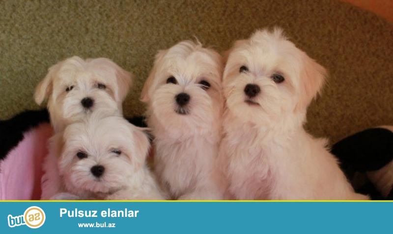 Предлагаются щенки мальтийской болонки (мальтезе),возраст 2 мес...