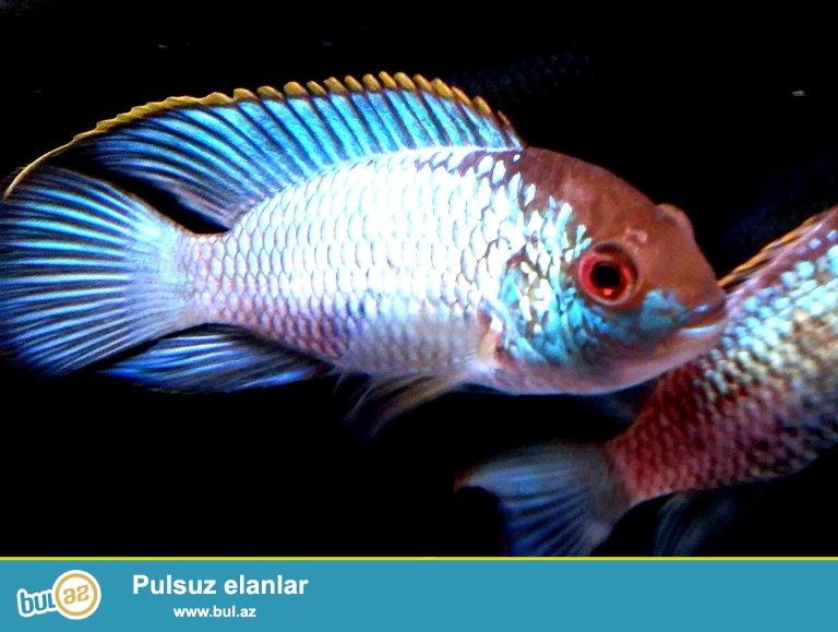 Nannakara neon Blue 8sm