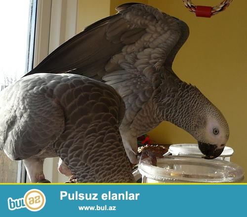 satış üçün african boz tutuquşu birds<br /> <br /> (coolashley867@gmail...