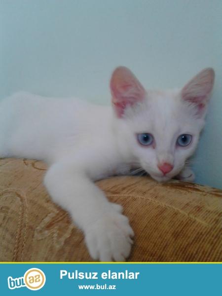 Ag mavi gozlu pisik satiram mehriban Sirin eylenceli oynamagi seven...