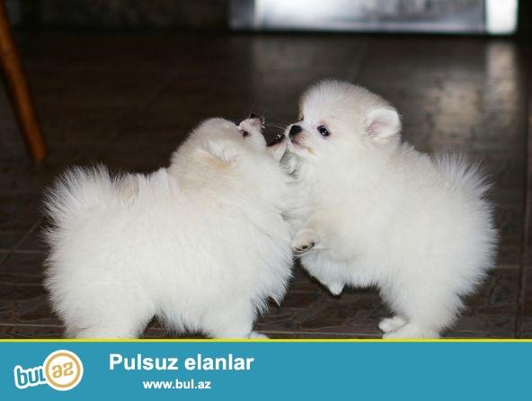Pomeranian Spitz miniatür bala satışı.<br /> ağ valideynlər çempion ağ rəng...