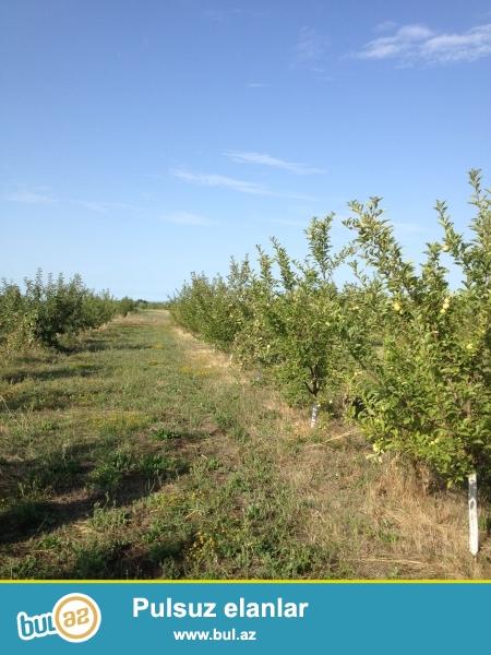 Tecili, Xaçmaz rayonunda 1.9 hektar alma bagi 11000 manat ve 0...