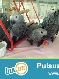 5 ayliq tutuqusu Jako satilir.продаются 5 месячные птенцы жако