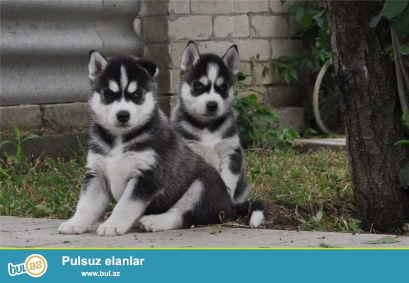: Сибирский хаски щенки мальчики и девочки ( aslans5k85@mail...