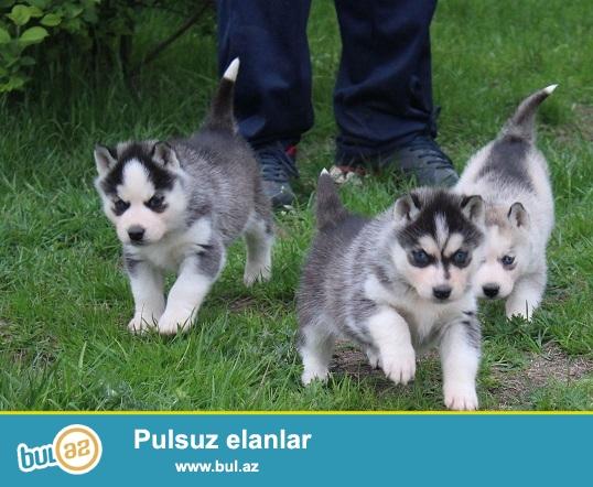 Голубоглазые щенки Сибирский хаски...