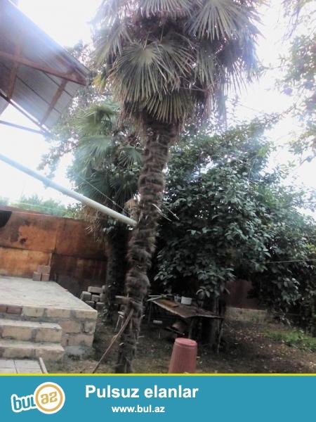 Salam, cox tecili 2 dene uzunlugu 7 metrlik olan palma agaclari satilir...