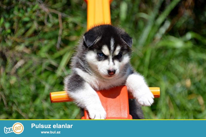Сибирский хаски щенки РКФ Красивая мальчики и девочки ( aslans5k85@mail...