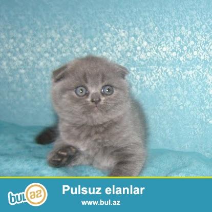 Котята голубого окраса, возраст 2 мес,мальчик и девочка, очень красивые...