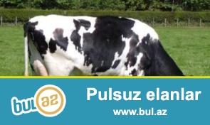 Simmental cinsinden olan ineklerdi. 2014-cu ilin oktyabrinda Volqoqraddan getirilib...