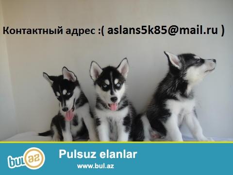 Сибирский хаски щенки Красивая мальчики и девочки ...