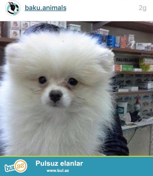 Wekilde gorduyunuz  Pomeranian Wpic-ler satilir.Her ikisi de 950 manatadir...